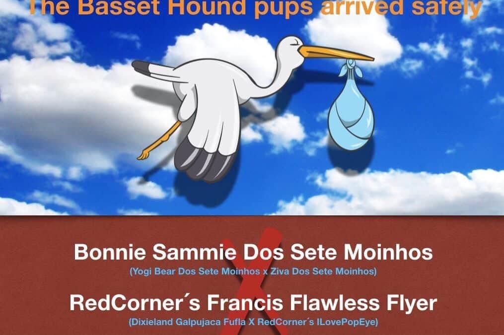 Vi har fået Basset Hound hvalpe